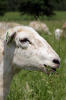 Sheep_head_with_grass